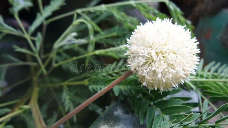 Flor blanca de Popinac imagenes de archivo