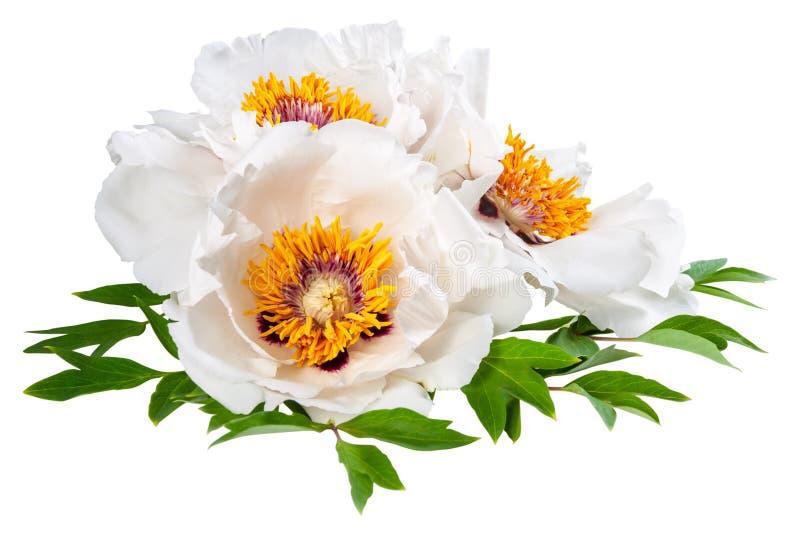 Flor blanca de tres peonías imagen de archivo