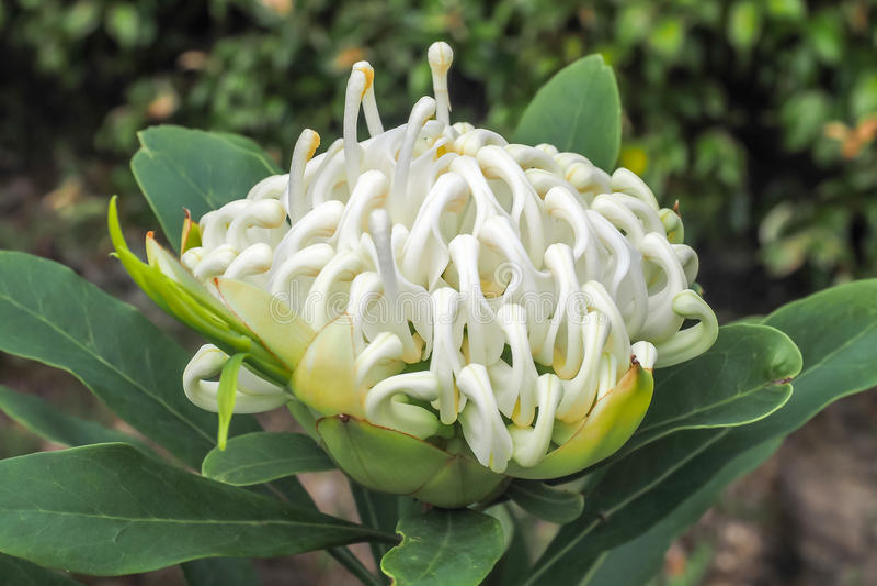 Flor blanca de Waratah imagen de archivo