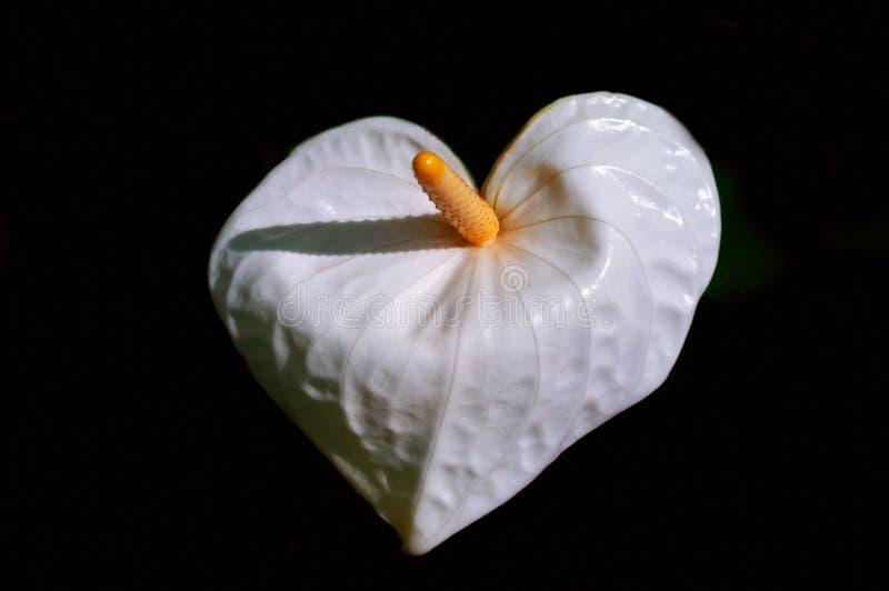 Flor blanca del Anthurium en una macro negra del fondo Imagen expresiva agraciada colorida de la naturaleza, papel pintado fotos de archivo libres de regalías
