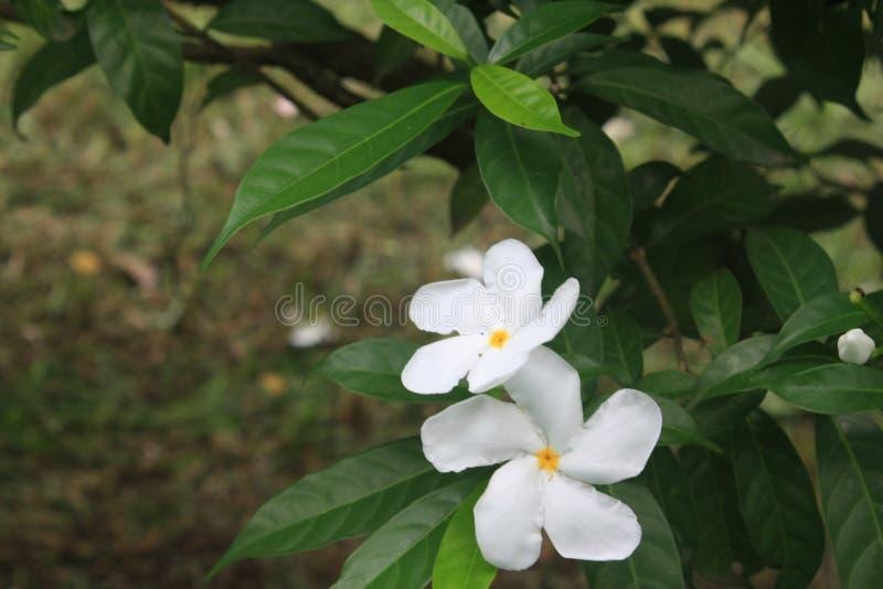 Flor blanca del bígaro foto de archivo