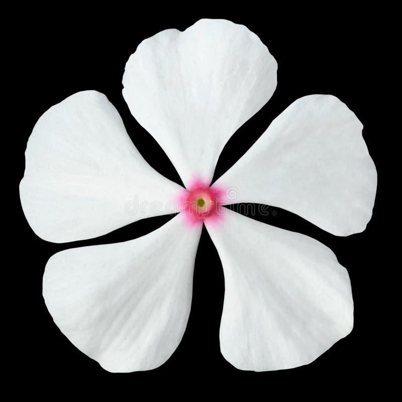 Flor blanca del bígaro con el centro rosado aislado foto de archivo