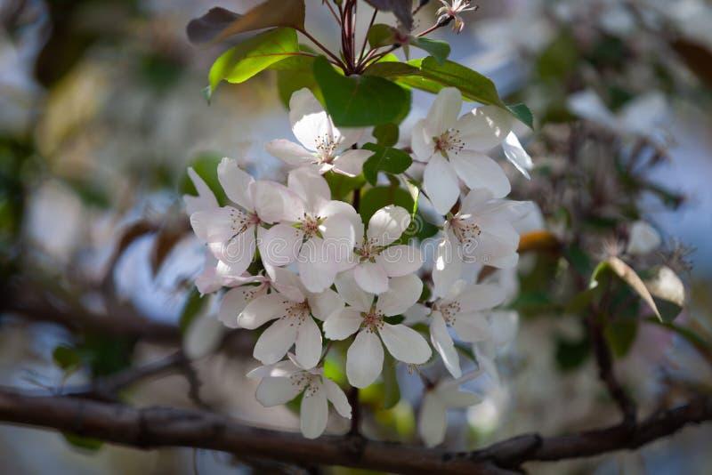 Flor blanca del cierre del manzano para arriba, fondo borroso foto de archivo