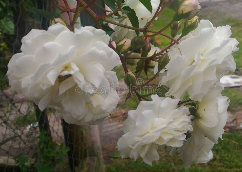 Flor blanca del clavel foto de archivo