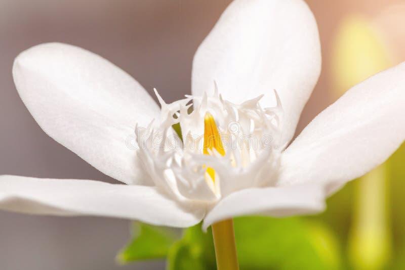 Flor blanca del cosmo en el jardín imagenes de archivo