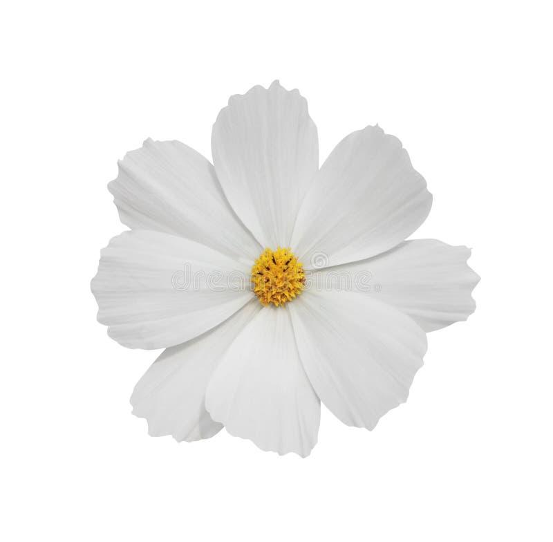 Flor blanca del cosmos fotografía de archivo libre de regalías