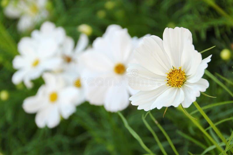 Flor blanca del cosmos imagen de archivo