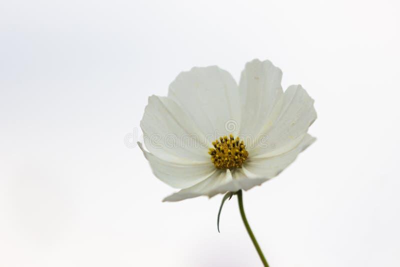Flor blanca del cosmos con el centro amarillo imágenes de archivo libres de regalías