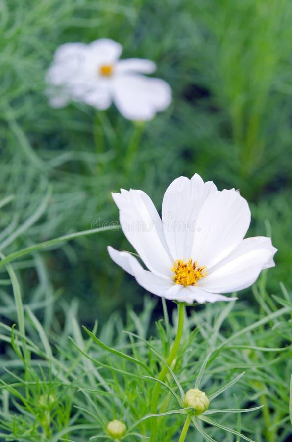 Flor blanca del cosmos o flor de la aguja española con backgrou de la hierba fotografía de archivo libre de regalías