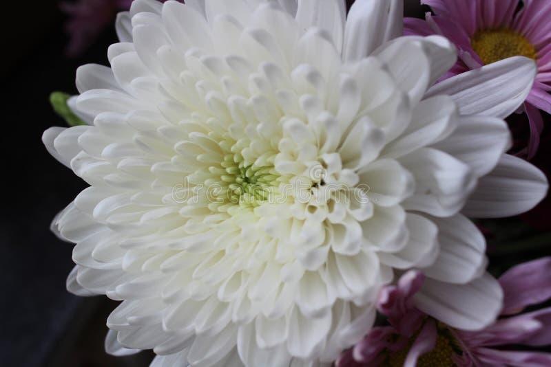 Flor blanca del crisantemo fotos de archivo