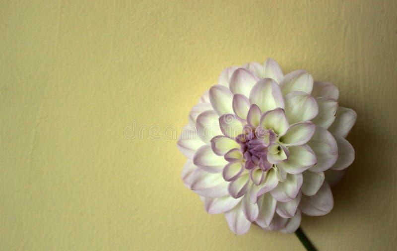 Flor blanca del crisantemo, simetría y sección de oro fotografía de archivo