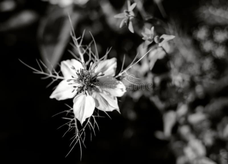 Flor blanca del damascena de Nigella, conocida también como 'amor-en-uno-niebla ', en blanco y negro fotos de archivo
