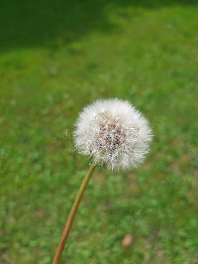 Flor blanca del diente de león en fondo verde del prado fotografía de archivo libre de regalías