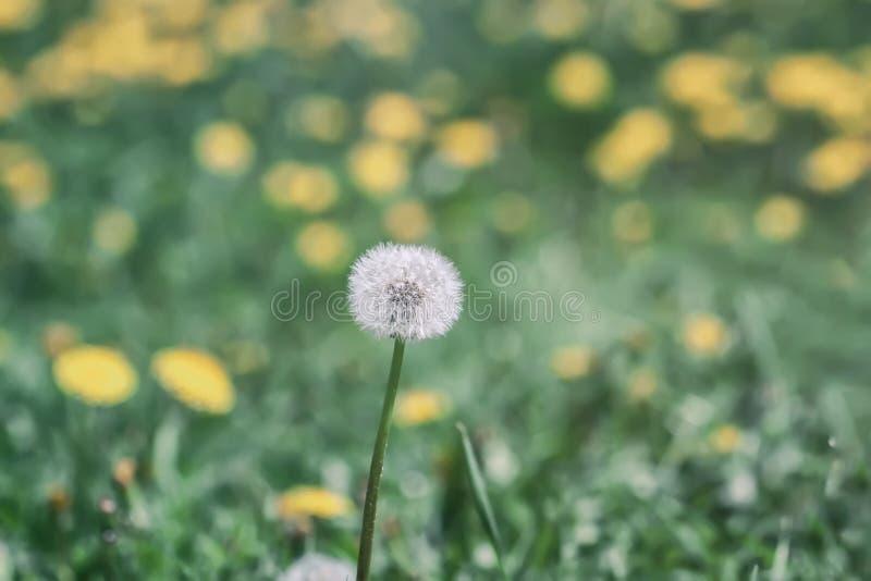 Flor blanca del diente de león en la hierba verde con las flores amarillas salvajes, foco selectivo, prado de la primavera imagen de archivo libre de regalías