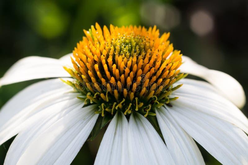 Flor blanca del echinacea con rocío fotografía de archivo libre de regalías