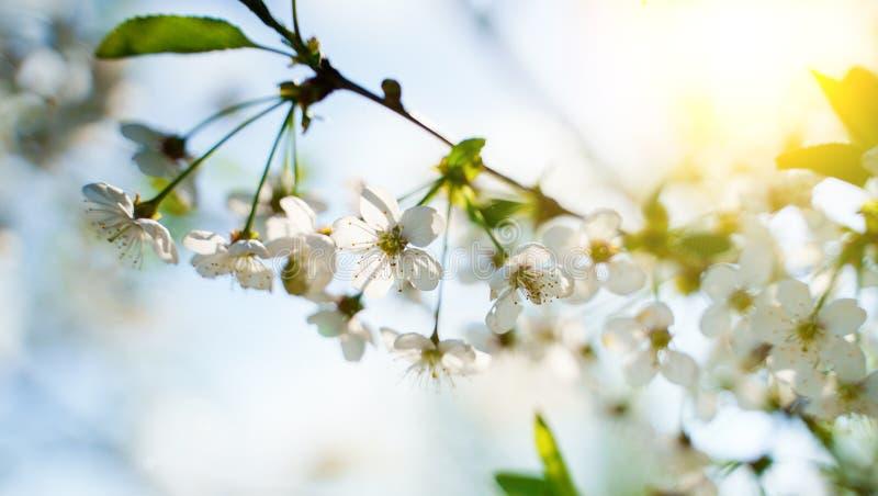Flor blanca del flor en rama del manzano en la floración de la primavera llena de luz brillante imagen de archivo libre de regalías