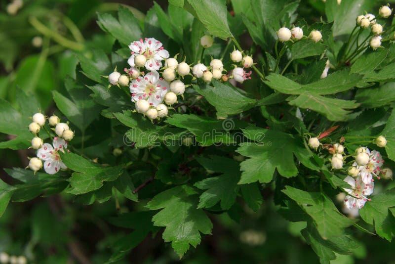 Flor blanca del espino de Midland fotos de archivo