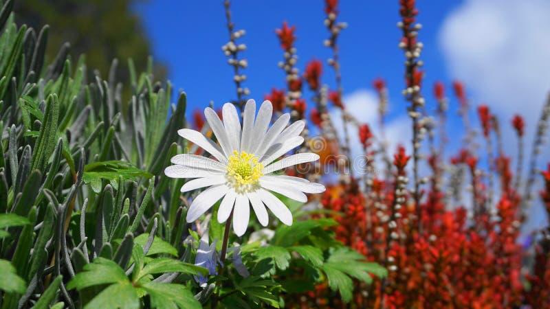 Flor blanca del esplendor del blanda de la anémona en las plantas coloridas y cierre del fondo del cielo azul para arriba imagen de archivo