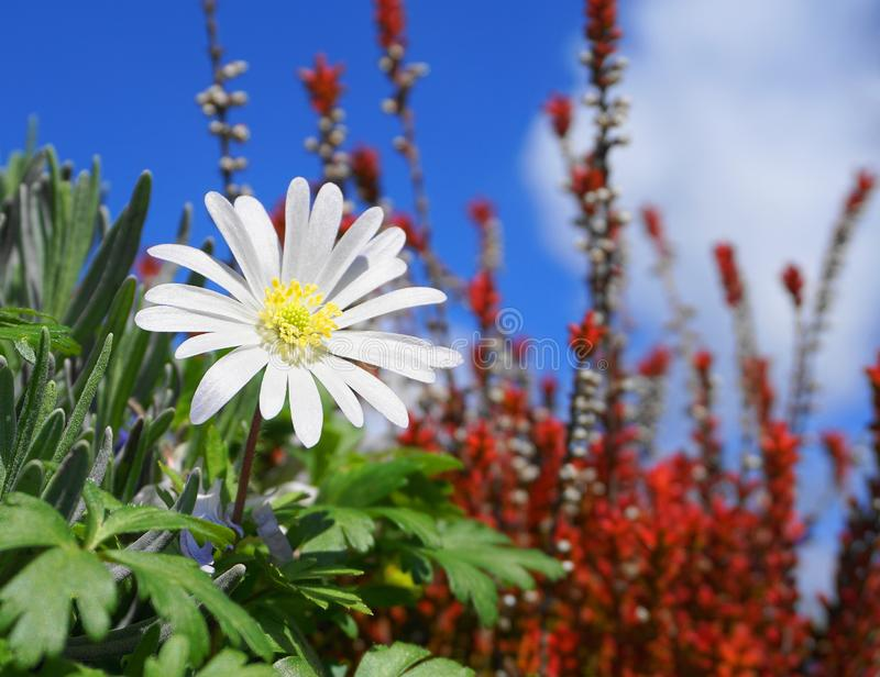 Flor blanca del esplendor del blanda de la anémona en las plantas coloridas y cierre del fondo del cielo azul para arriba fotos de archivo libres de regalías