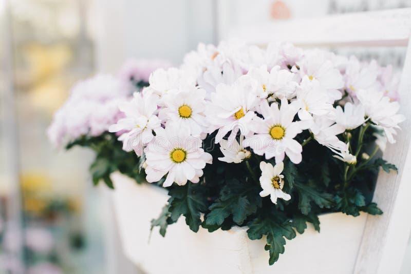 Flor blanca del gerbera en caja de madera imágenes de archivo libres de regalías