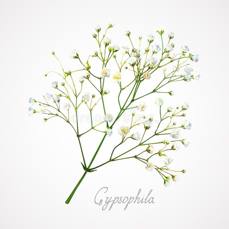 Flor blanca del Gypsophila stock de ilustración