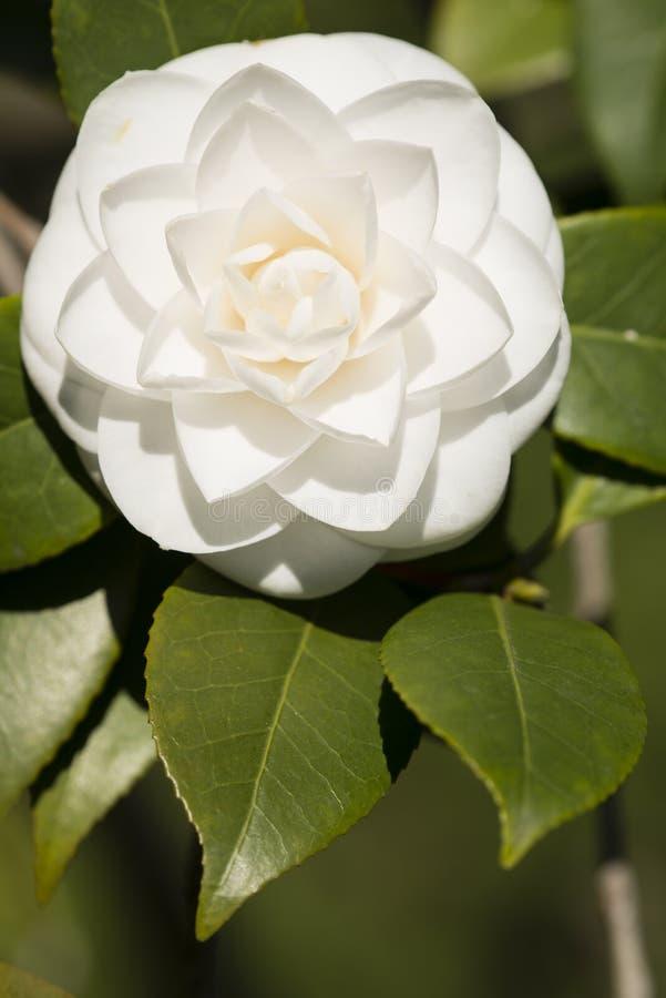 Flor blanca del japonica de la camelia en la plena floración fotografía de archivo