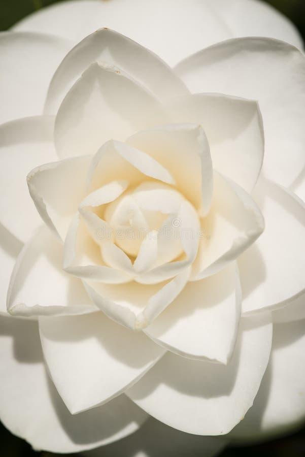 Flor blanca del japonica de la camelia en la plena floración imagenes de archivo