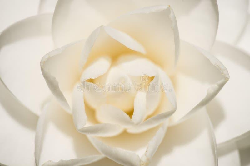 Flor blanca del japonica de la camelia en la plena floración imágenes de archivo libres de regalías