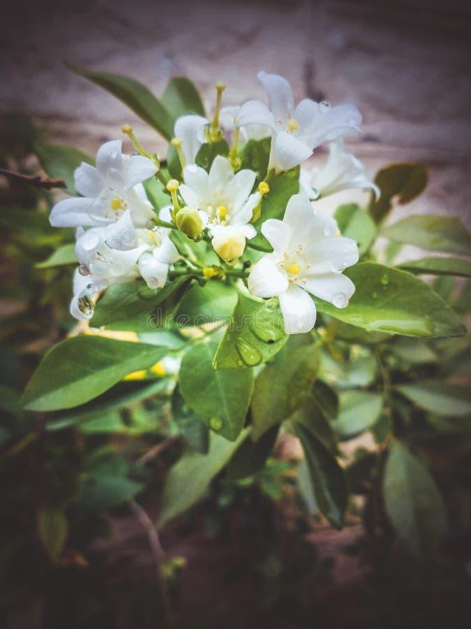 Flor blanca del jasminum imágenes de archivo libres de regalías