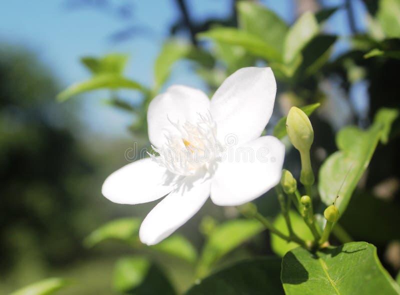 Flor blanca del jazmín que florece perfectamente foto de archivo libre de regalías