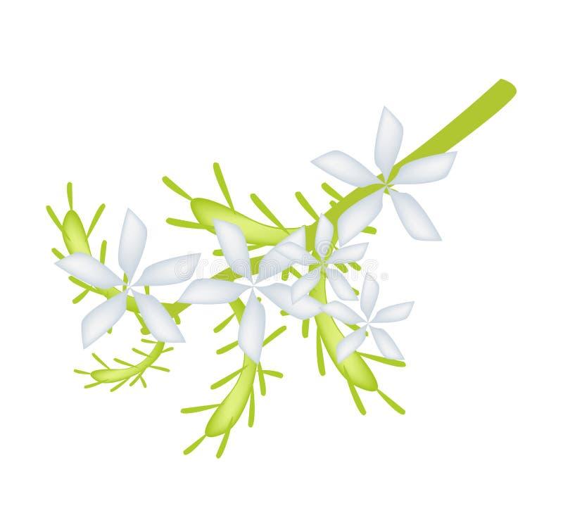 Flor blanca del Leadwort del cabo o flor blanca del grafito ilustración del vector