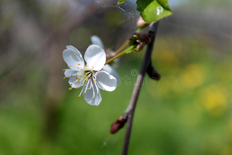 Flor blanca del manzano con la rama en fondo verde Visión horizontal fotografía de archivo libre de regalías