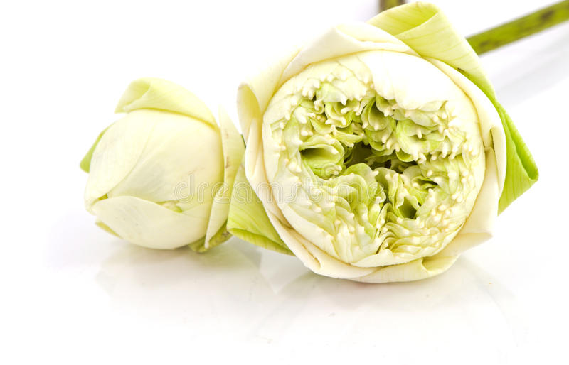 Flor blanca del NELUMBO NUCIFERA imagen de archivo
