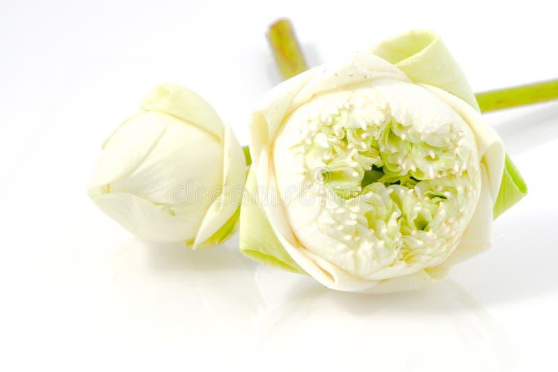Flor blanca del NELUMBO NUCIFERA foto de archivo libre de regalías