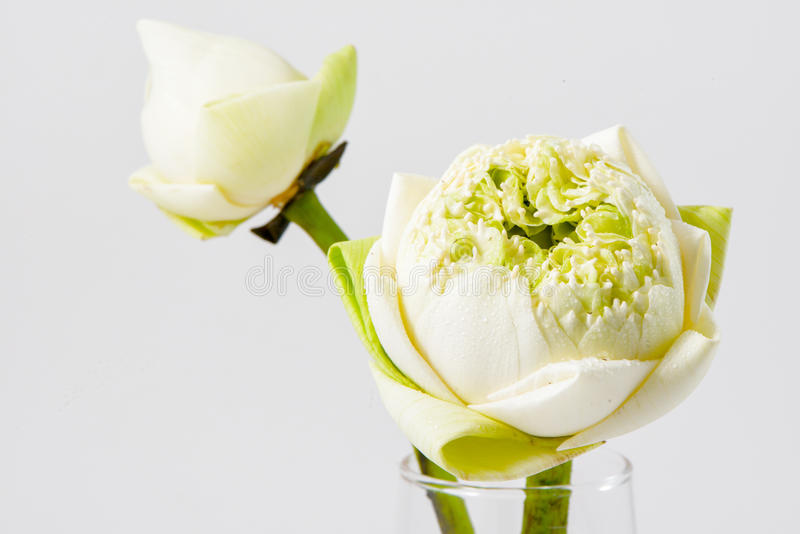 Flor blanca del NELUMBO NUCIFERA fotos de archivo