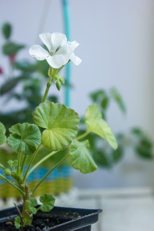 Flor blanca del Pelargonium, geranio, conocido como storksbills, planta casera foto de archivo