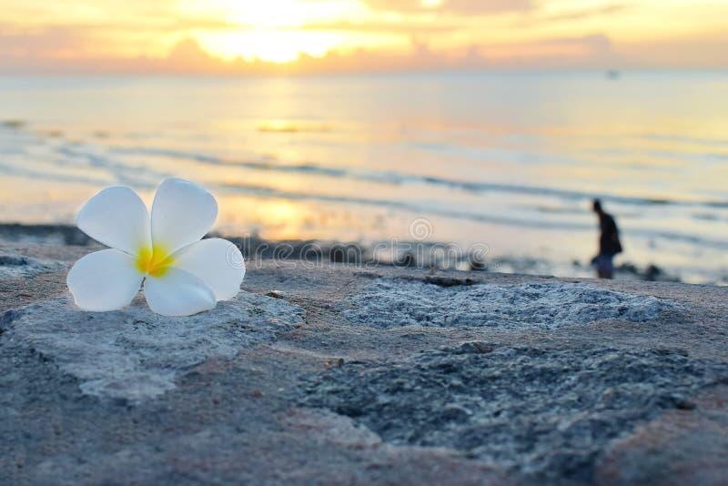 Flor blanca del plumeria puesta en el piso Hay mar y salida del sol como el fondo imagen de archivo libre de regalías