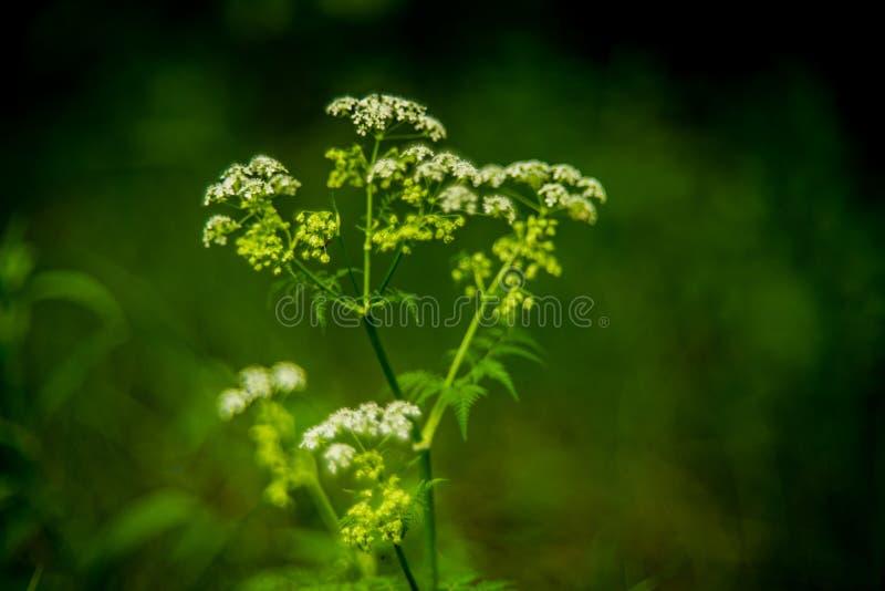 Flor blanca del prado salvaje fotografía de archivo libre de regalías