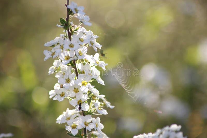 Flor blanca del Spiraea imagenes de archivo