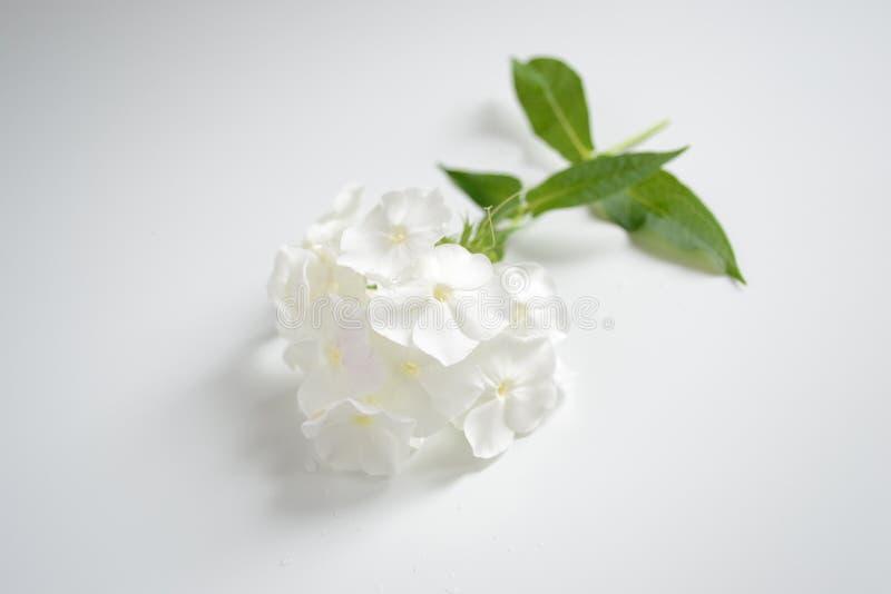 Flor blanca del subulata del polemonio fotos de archivo libres de regalías