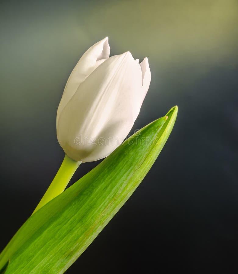 Flor blanca del tulipán, fondo negro de la pendiente, cierre para arriba foto de archivo