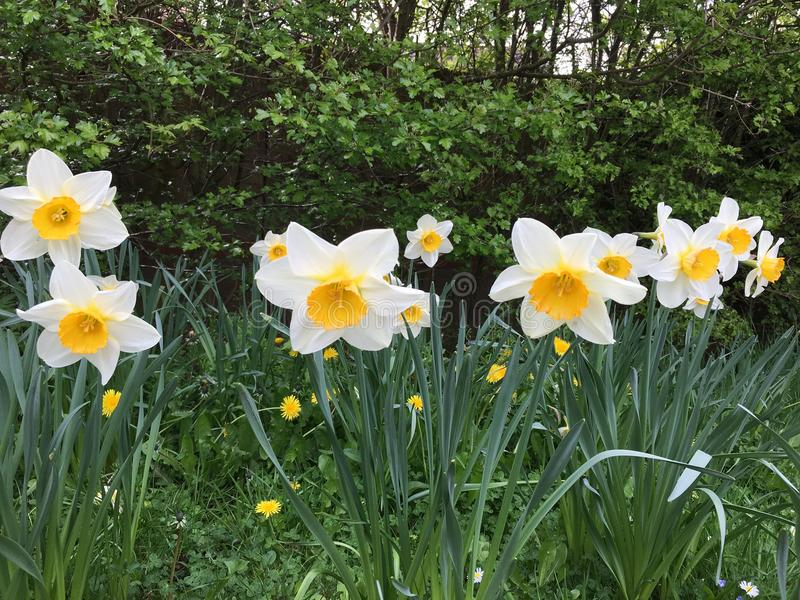 Flor blanca del verano foto de archivo