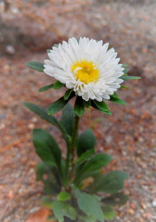 Flor blanca del Zinnia foto de archivo