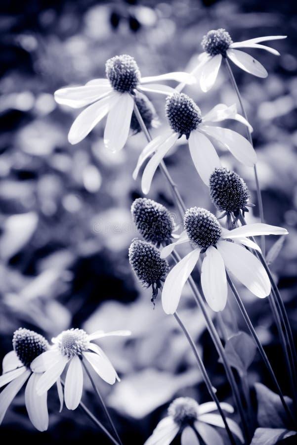 Flor blanca en color púrpura foto de archivo