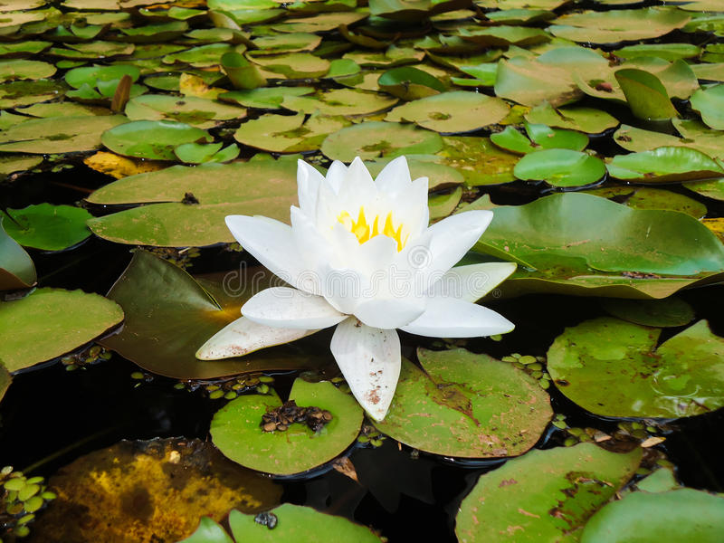 Flor blanca en el lago fotos de archivo