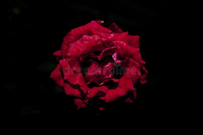 Flor blanca en fondo negro fotografía de archivo