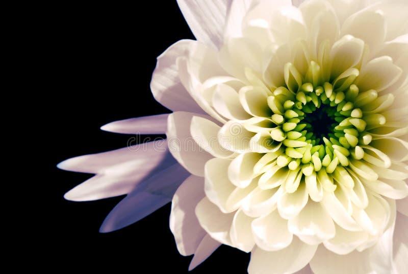 Flor blanca en negro fotografía de archivo