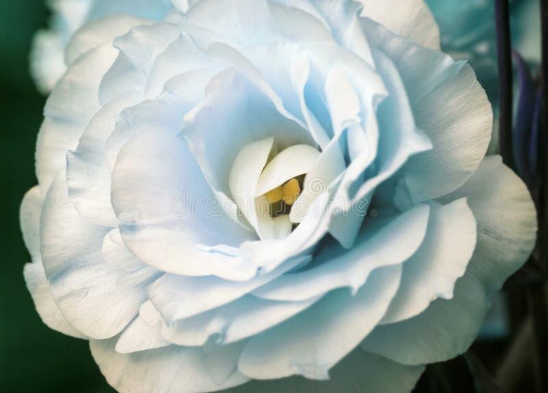 Flor blanca fresca blanda del eustoma grande foto de archivo