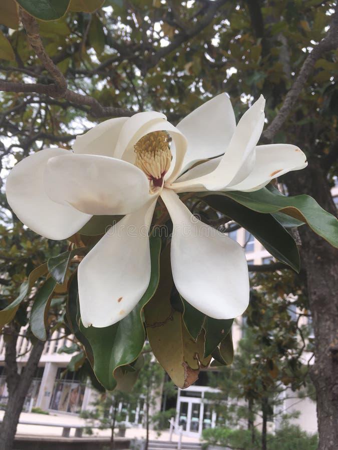 Flor blanca grande fotografía de archivo
