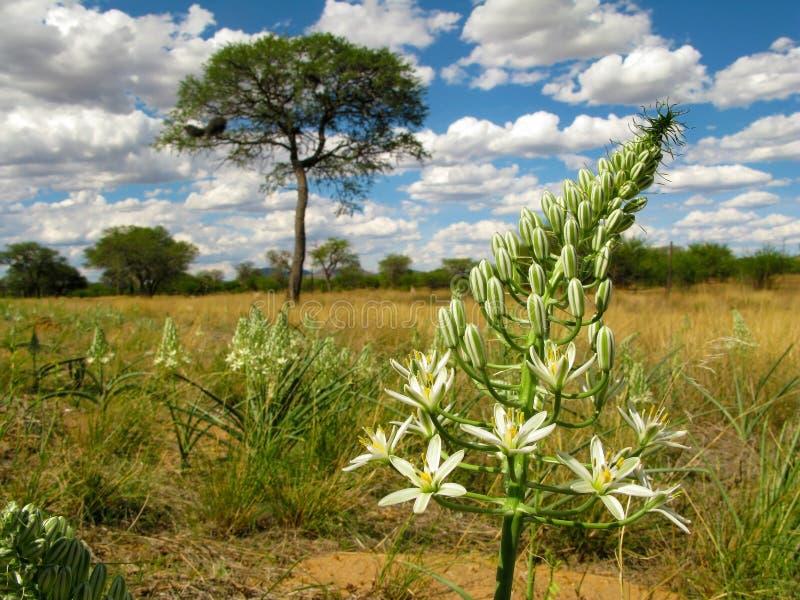 Flor blanca grande con un paisaje de la sabana con el árbol del acacia de la espina del camello en un fondo en Namibia central, S imagenes de archivo